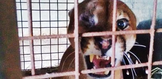 Macho adulto de onça-parda resgatado na cidade de Ribeirão Preto, no interior paulista