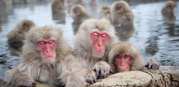Durante o inverno, os macacos-japoneses, também chamados de macacos da neve, procuram fontes termais