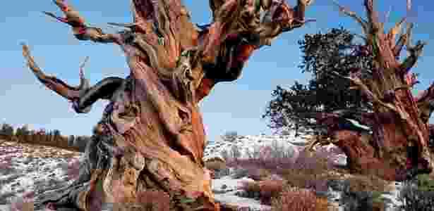 """A espécie """"Pinus longaeva"""" cresce na região das montanhas áridas da Grande Bacia de Nevada - Rick Goldwaser"""