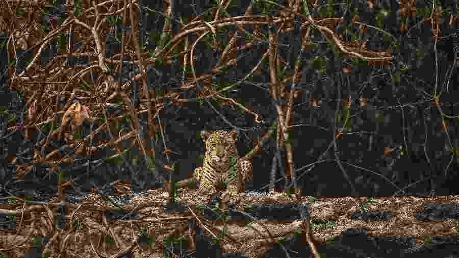 Onça-pintada descansa em área queimada às margens do rio Três Irmãos, no Parque Estadual Encontro das Aguas, no Pantanal - Lalo de Almeida/Folhapress