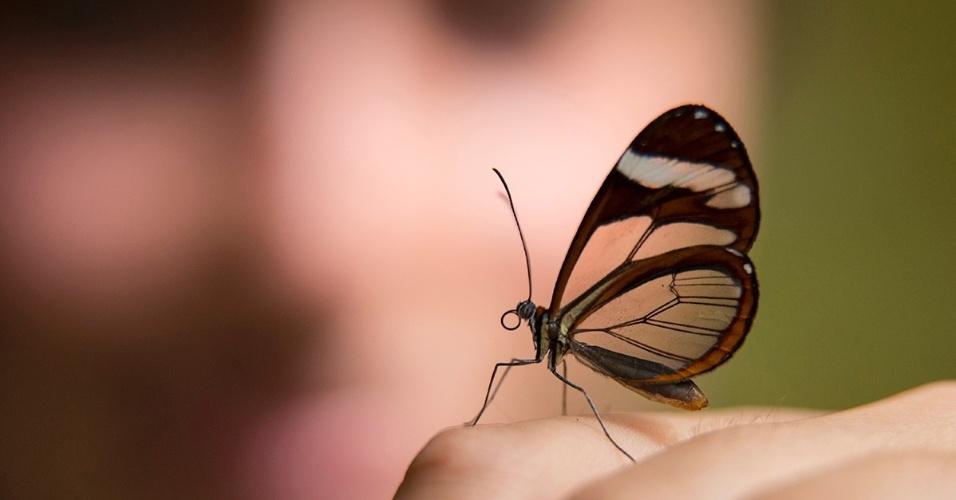 20.abr.2016 - Uma borboleta asas-de-vidro pousa nos dedos de um manipulador em Monteverde, Costa Rica. As asas são transparentes porque o material do qual são feitas não absorve nem reflete luz visível