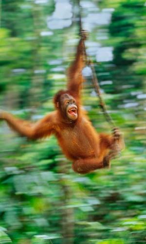 Um orangotango em Bornéu. Os orangotangos são os maiores mamíferos que vivem em árvores, fazendo tudo lá em cima: viajam grandes distâncias, constroem suas casas e buscam alimento nos estratos mais altos das florestas