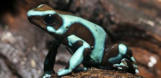 A a rã-venenosa-preta-e-verde é nativa da América Central e da região noroeste da América do Sul