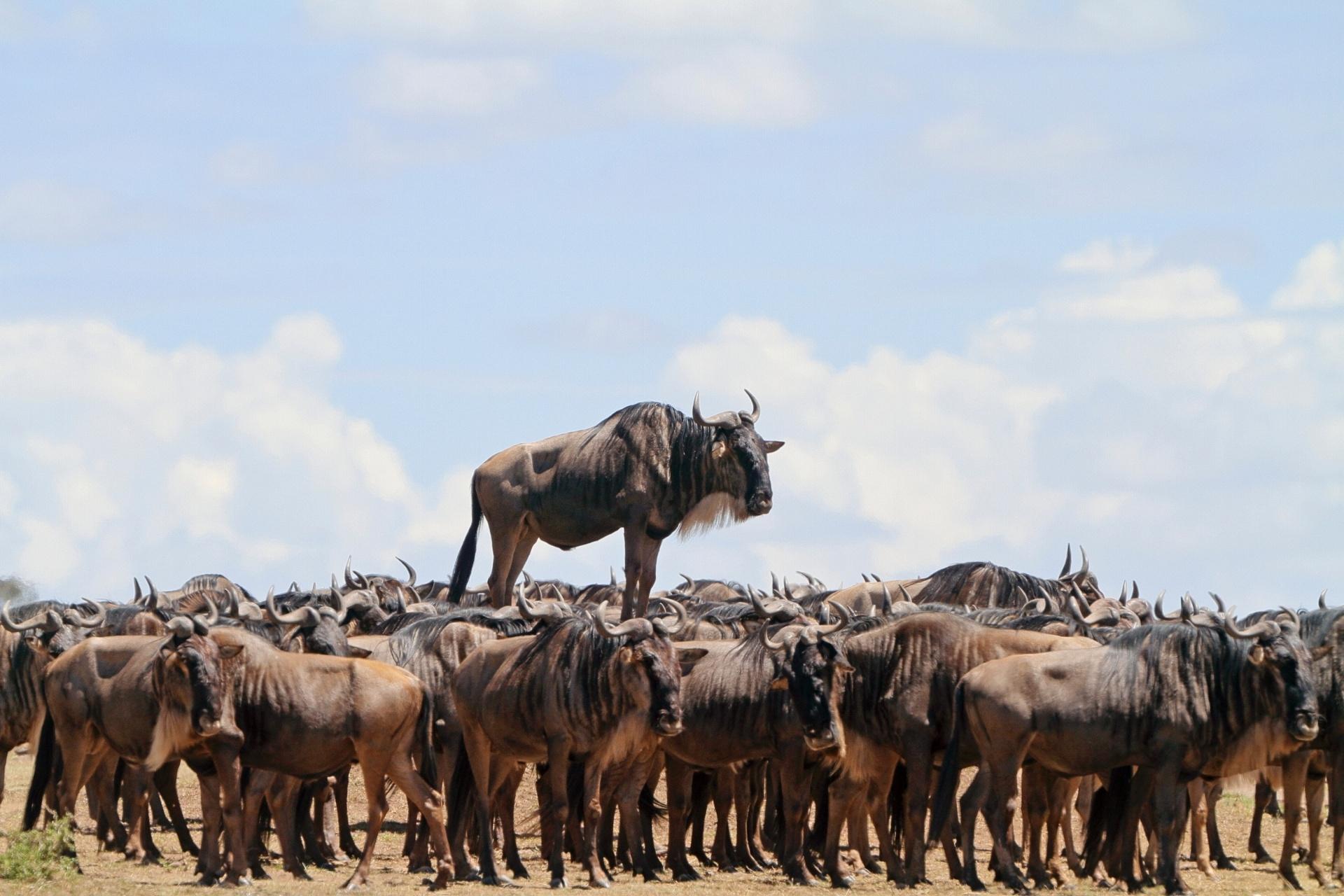 Gnu por cima - Esse gnu em Masai Mara, no Quênia, não se satisfaz em ser apenas mais um membro da manada