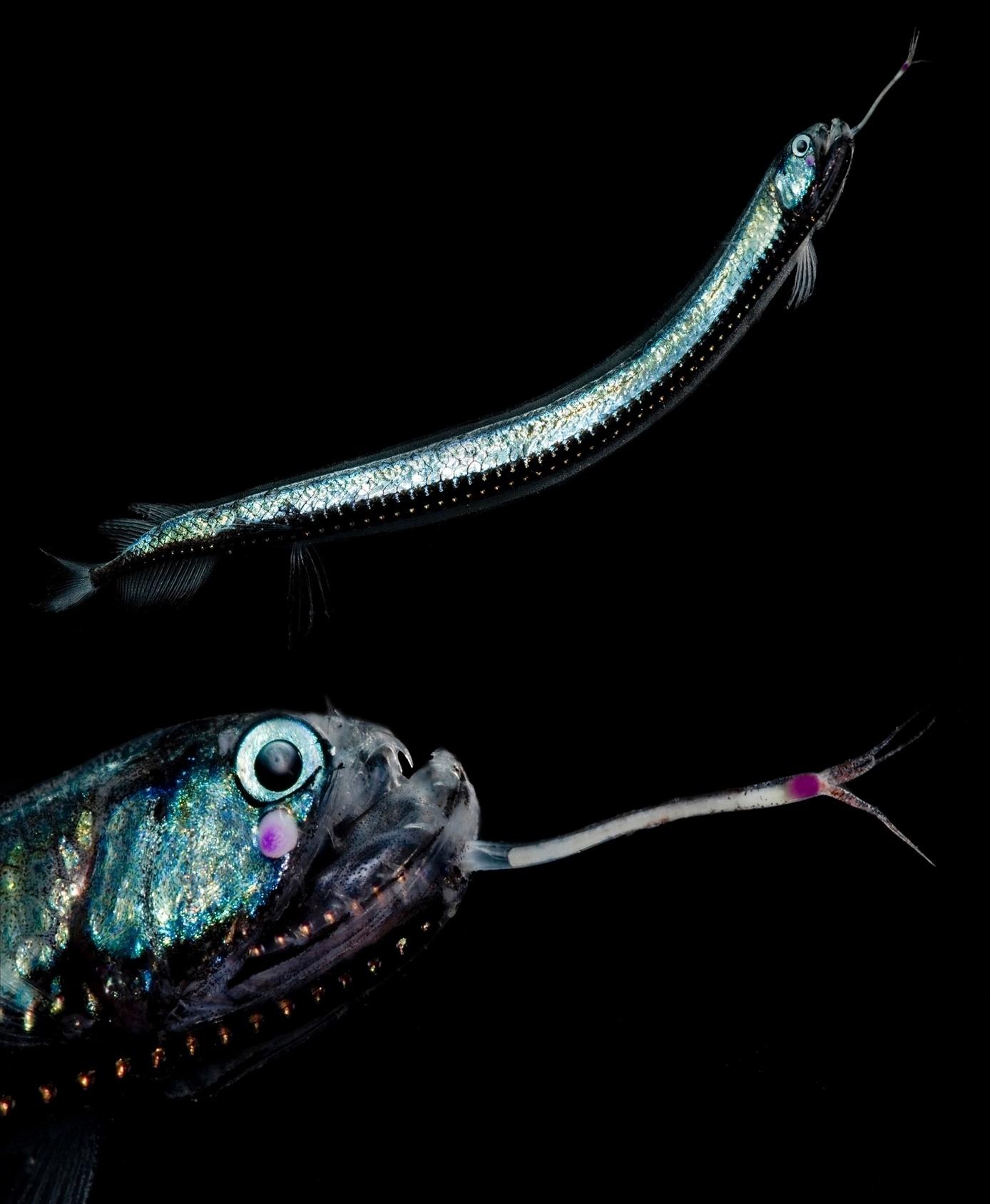 """5.jul.2016 ? O peixe """"boarfish de Günther"""", uma espécie de peixe-dragão com um fotóforo, foi encontrado pelo fotógrafo de animais selvagem Danté Fenolio no Golfo do México. O fotóforo é um órgão biológico que emite luz, o que ajuda o animal a se orientar na escuridão e pode também ajudar a atrair presas"""