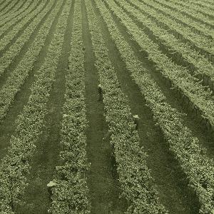A uva do Casa Perini Moscatel é da variedade moscato. A colheita delas é feita de janeiro a março - Divulgação/Casa Perini