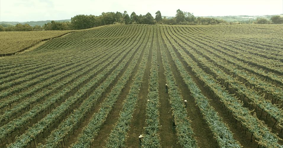 A uva do Casa Perini Moscatel é da variedade moscato. A colheita delas é feita de janeiro a março