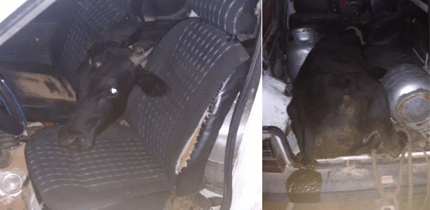 Para o animal caber dentro do carro, o acusado tirou o banco traseiro e colocou o boi pelo porta-malas