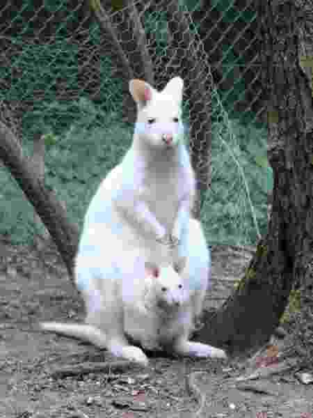 Mila, a bebê canguru albina, dentro da bolsa da mãe, no zoológico Kaiserslautern, na Alemanha - Divulgação
