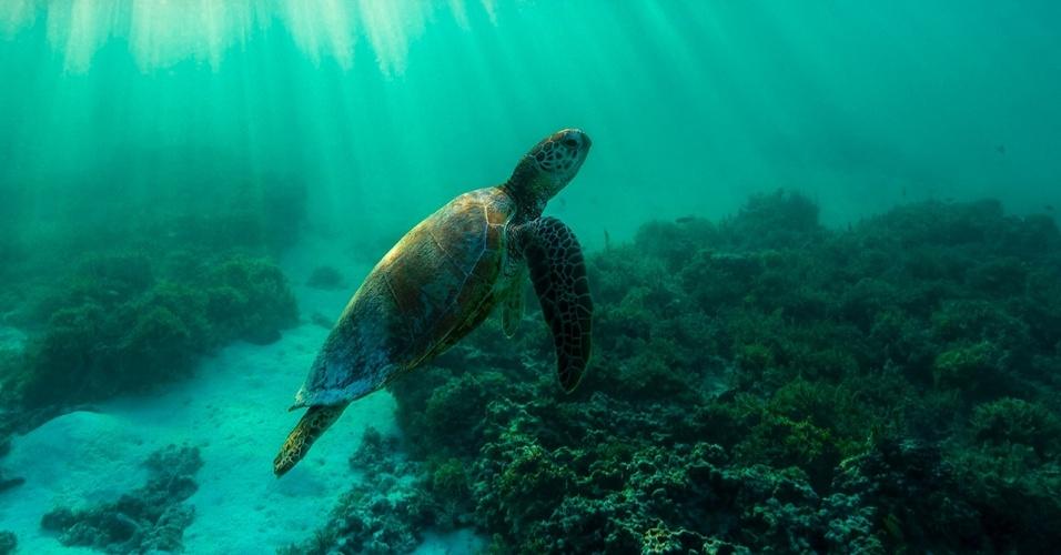 Uma tartaruga-verde mergulha próximo a Grande Barreira de Corais, na costa australiana. Valiosas pela carne e ovos, as tartarugas-verdes são uma espécie ameaçada de extinção