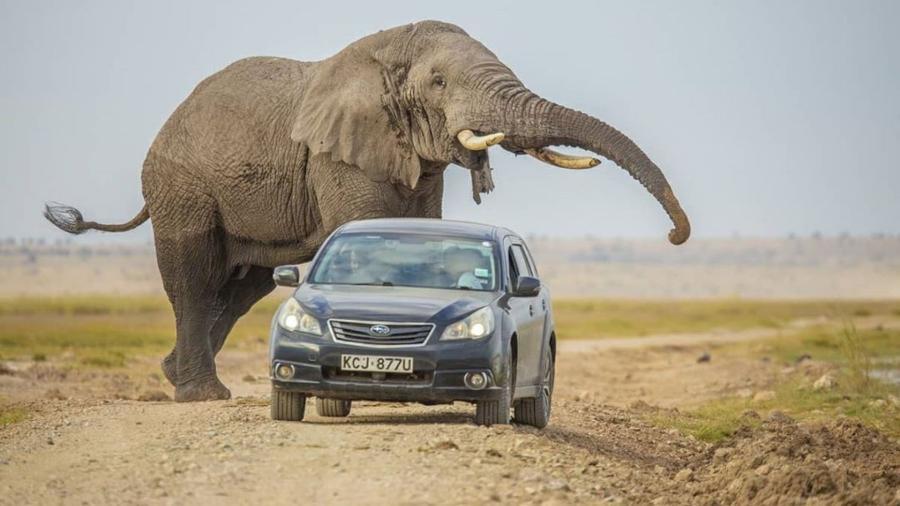 Fêmea de elefante se aproxima de veículo no Parque Nacional de Amboseli, no Quênia  - Reprodução/@mwarv/Instagram