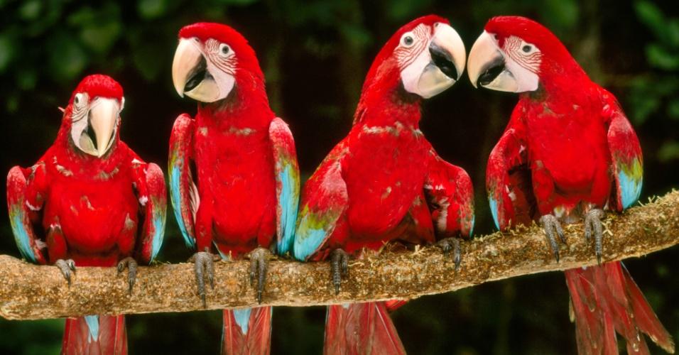 27.jul.2016 - Araras-vermelhas repousam na Reserva Nacional de Tambopata, no Peru. Na floresta amazônica, as araras se reúnem em bancos de argila (o maior deles é nesta reserva), que são uma grande fonte de sódio