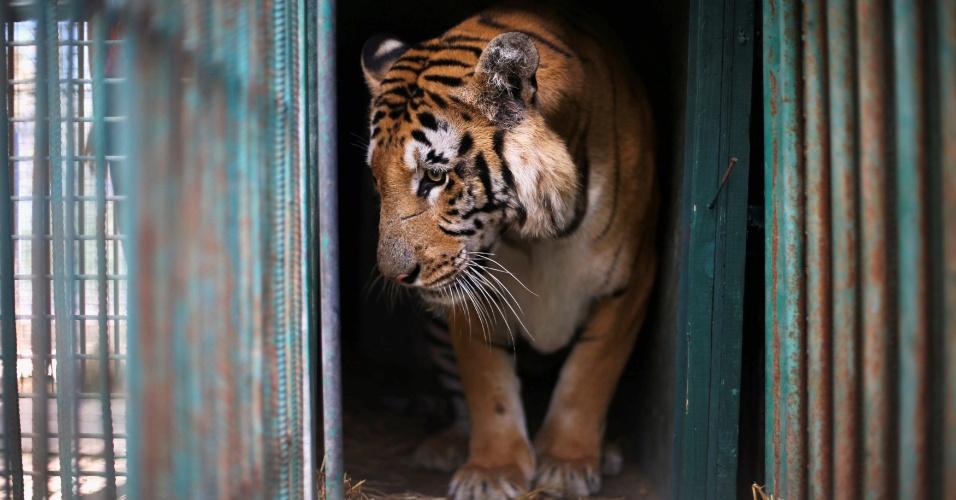 25.ago.2016 - Um tigre chamado Laziz caminha por sua jaula antes de ser retirado do zoológico Khan Younis, considerado o pior do mundo, em Gaza. O felino foi o último resgatado entre 15 animais que foram transferidos para um santuário na África do Sul pela ONG Four Paws International