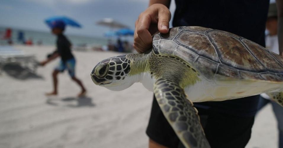 13.jul.2016 - Uma das cinco jovens tartarugas verdes que foram reabilitadas pelos profissionais do Miami Seaquarium é levada ao mar, na Key Biscayne, Florida (EUA). As tartarugas, que têm entre 2 e 5 anos, foram resgatadas meses atrás em Dania Beach Pier e Deerfield Beach Pier. Elas estavam feridas após se chocarem contra barcos e algumas delas tinham ganchos de pesca presas na boca e no esôfago