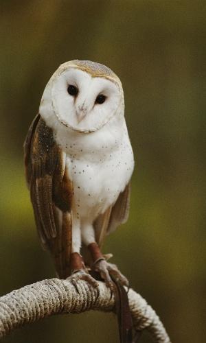 30.ago.2016 - Uma coruja-das-torres pousa no Parque Nacional de Lakes, nos EUA. Essas corujas têm uma excelente visão e audição, além de orelhas posicionadas assimetricamente para ouvir presas passando acima e abaixo delas