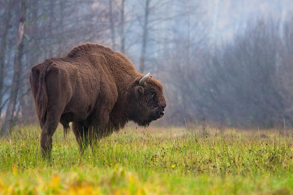 18.out.2016 - Bisão-europeu moderno (Bison bonasus), fotografado na floresta de Bialoweza, na Polônia; a espécie descende do