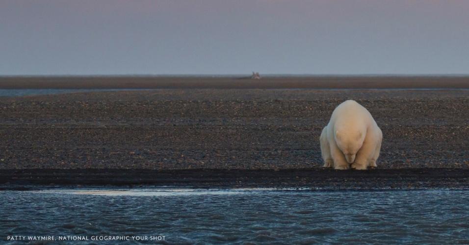Em fotografia tirada no início de outubro, um urso polar senta na beirada de uma ilha do Alasca, nos Estados Unidos. Deveria haver neve e gelo no local nesta época do ano, mas o inverno foi mais quente do que o comum