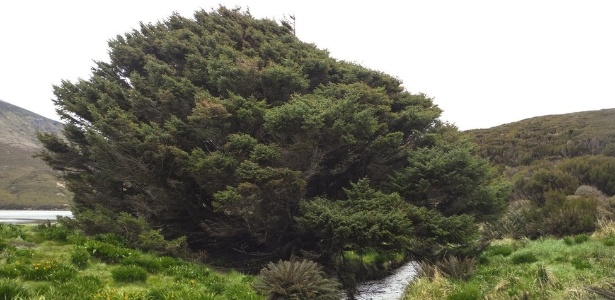 A árvore da espécie Picea sitchensi localizada numa ilha na Nova Zelândia foi plantada em 1905 e cresce em média 1 cm por ano