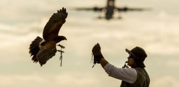 A falcoaria pode reduzir em 30% a 40% a probabilidade de colisão entre pássaros e aeronaves