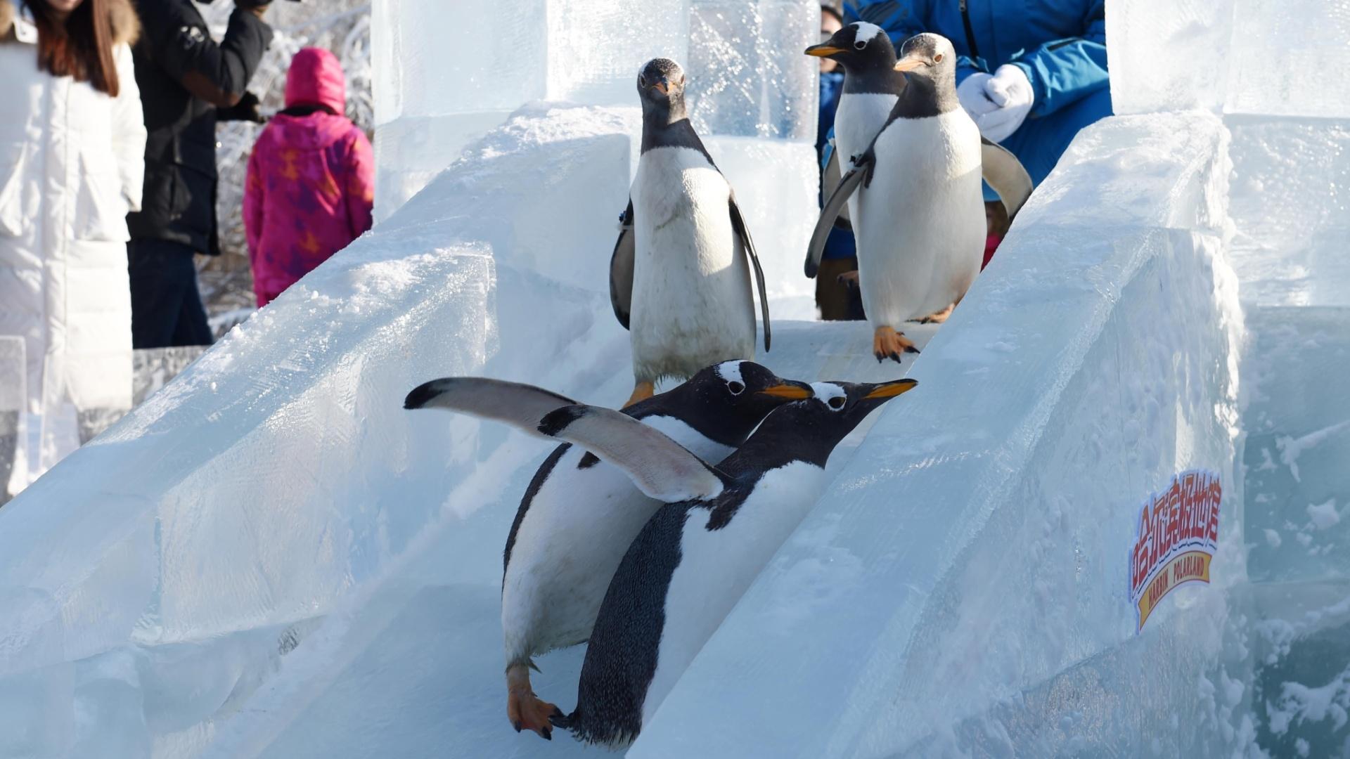 26.dez.2016 - Pinguins do parque temático Harbin Polarland, na China, aproveitam um escorregador de gelo para se divertirem nesta segunda (26)
