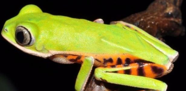 Pithecopus araguaius foi identificada no Mato Grosso por pesquisa de campo que começou em 2010