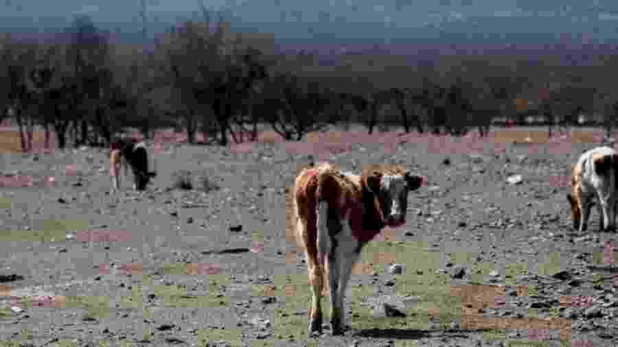Animais emagrecem e o preço do gado caiu acentuadamente, enquanto o dos fardos de capim para alimentá-los disparou - Getty Images