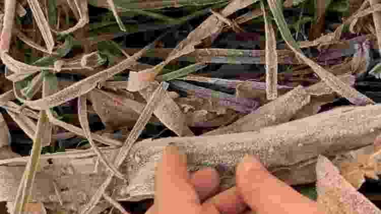 'Nunca vi três geadas em um mês', diz Cesar Uemura; na imagem, a geada na cana-de-açúcar - Cesar Mikishi Uemura/Divulgação - Cesar Mikishi Uemura/Divulgação