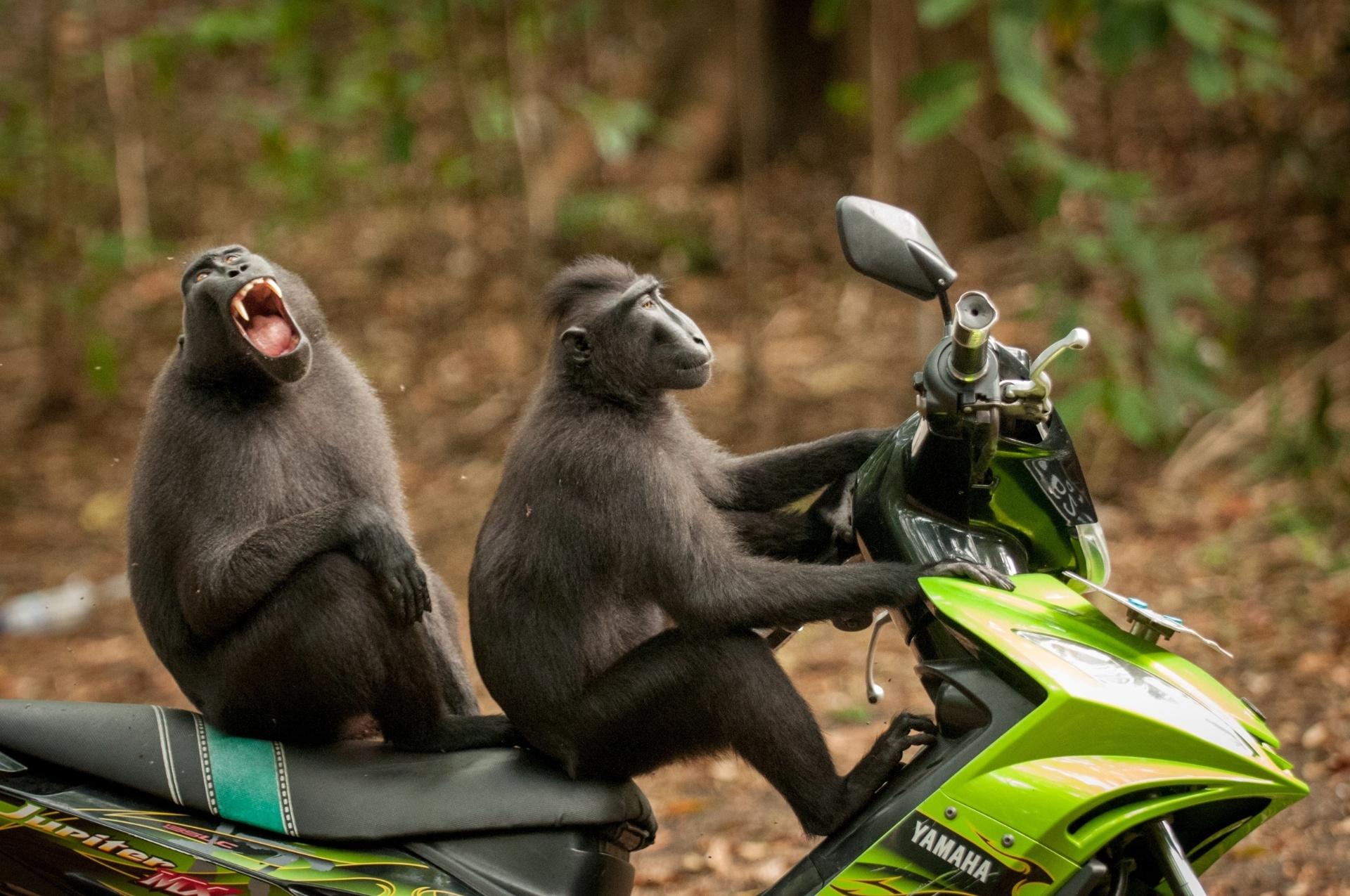 Curtindo a vida adoidado - A dupla de macacos parece estar curtindo muito montar nessa moto. Foto feita Sulawesi do Norte, na Indonésia