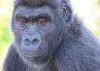 Zoológico descobre que gorila criado por quase 7 anos como macho é, na verdade, fêmea (Foto: Bristol Zoo Gardens)