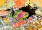 Peixe multicolorido é descoberto em águas profundas na costa do Nordeste - LA Rocha/ZooKeys