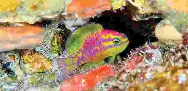 Peixe colorido encontrado a 120 metros de profundidade na costa do Nordeste - LA Rocha/ZooKeys