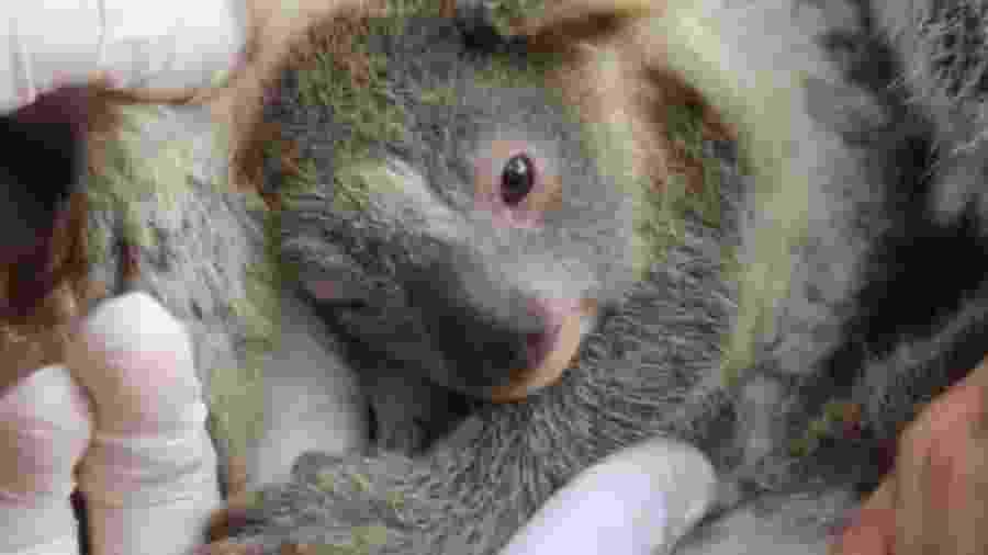 Ash, o primeiro coala nascido depois dos incêndios; Parque vai reabrir na próxima segunda - Reprodução / Instagram