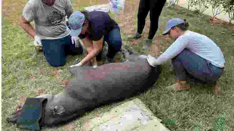 Eduarda e outros voluntários ajudam anta resgatada - Jaguar Ecological Reserve - Jaguar Ecological Reserve
