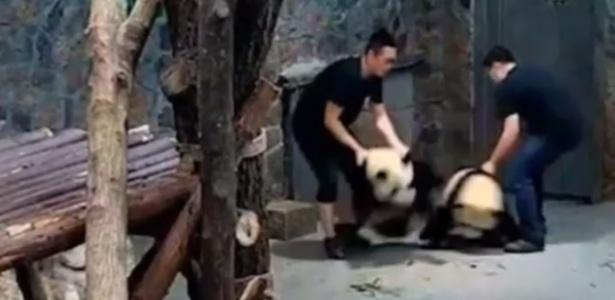 Cuidadores do zoológico jogam violentamente os pandas no chão em vídeo divulgado na internet
