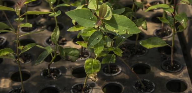 Processo in vitro pode replicar milhares de plantas em espaços reduzidos e sem a dependência de condições meteorológicas - Rubens Chaves/Folhapress