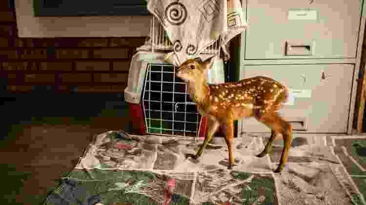 Filhote de cervo encontrado solitário recebe acompanhamento de voluntários - Frico Guimarães/Documenta Pantanal - Frico Guimarães/Documenta Pantanal