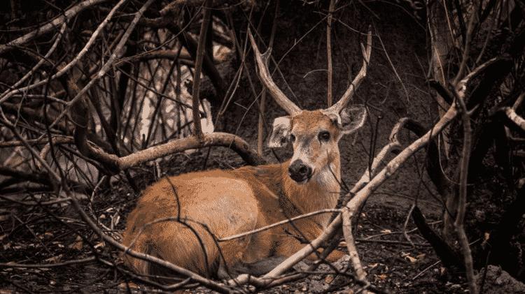 Cervo-do-Pantanal em meio à vegetação queimada. Segundo voluntários, animal aparentava estar debilitado - FERNANDO FACIOLE/GRAD - FERNANDO FACIOLE/GRAD