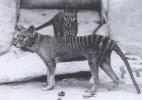 """Tigre da Tasmânia, marsupial extinto, virava """"cão"""" na bolsa de sua mãe - Domínio Público"""