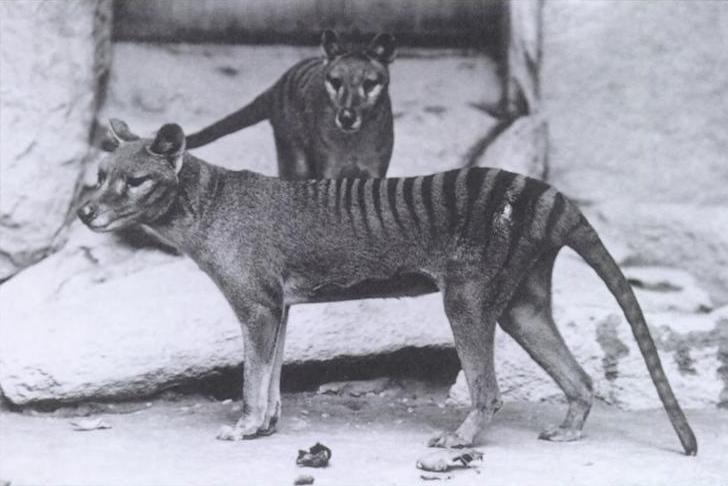 Tigre da Tasmânia
