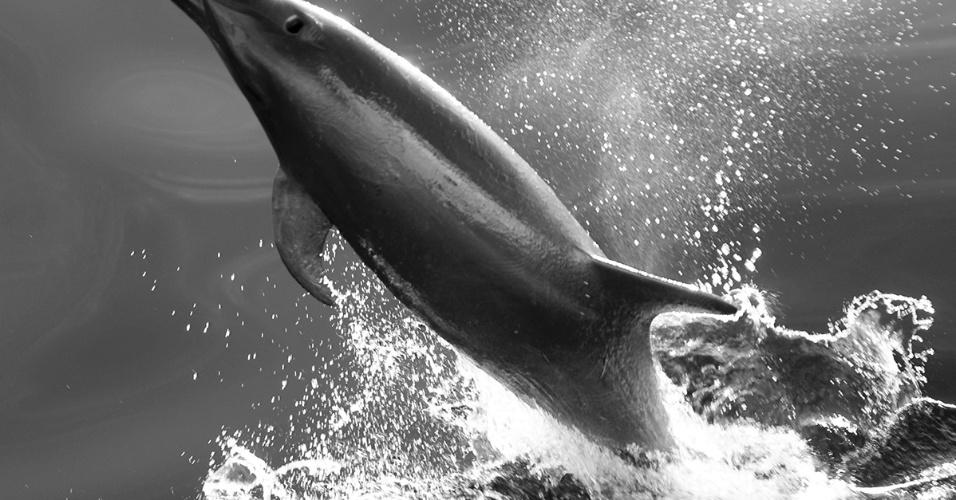 16.ago.2016 - Um golfinho-roaz no mar de Cortez, no México. Chegando a 6 metros de comprimento, golfinhos pulam para guardar energia, pescar e se comunicar