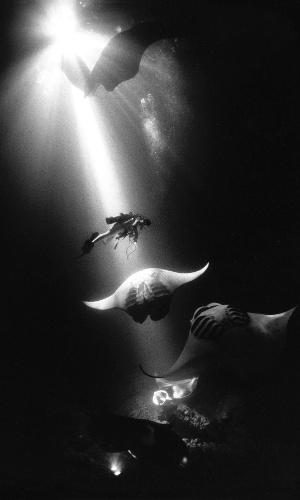 Um mergulhador entre arraias-jamanta no Havaí. A espécie pode pesar até 2 toneladas e tem envergadura de até 7 m. Apesar do tamanho, se alimentam prioritariamente de plâncton