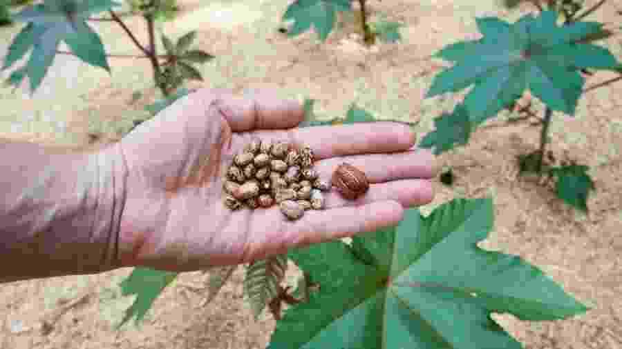 Sementes de mamona são usadas para produzir substância letal ricina - Getty Images via BBC