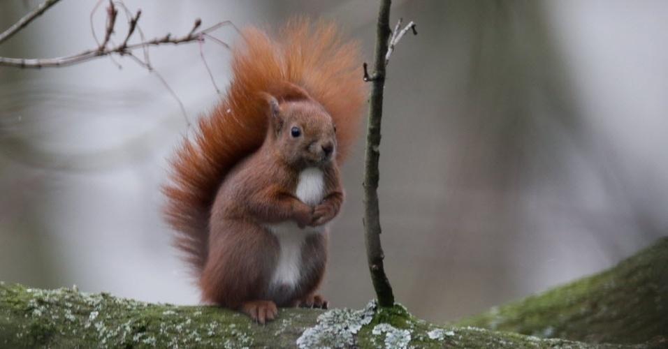 """3.jan.2016 - Um esquilo se senta em uma árvore após """"passear"""" por Hamburgo, no norte da Alemanha"""