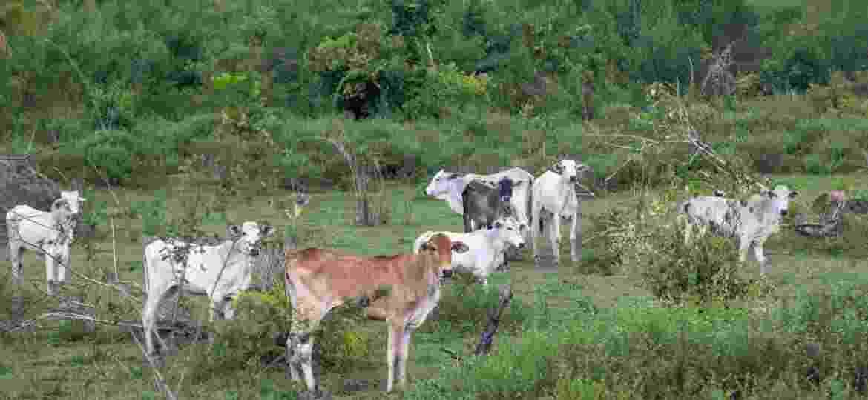 Bois pastam em área desmatada e embargada pelo Ibama na fazenda Lagoa do Triunfo, da Agro SB, o que configura crime ambiental; empresa é fornecedora da JBS - João Laet/Repórter Brasil e The Guardian