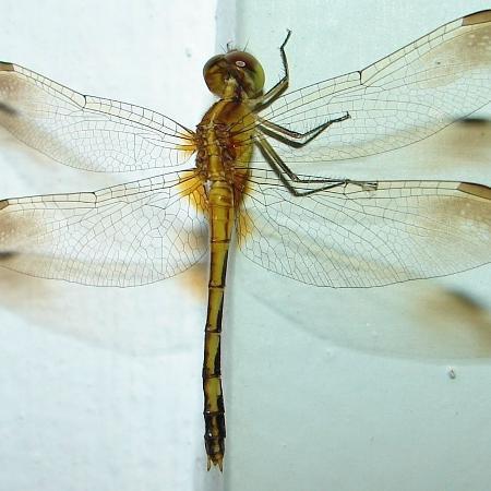 Padrões escuros desenhados nas asas dos machos são traços necessários para o acasalamento - Reprodução / Aida Dresseno / Wikipedia