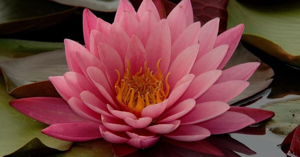 1º.fev.2016 - O florescer de uma flor de lótus. A planta de água doce fecha as pétalas a noite e mergulha debaixo d?água. Existem cerca de cem espécies e as flores são suavemente perfumadas