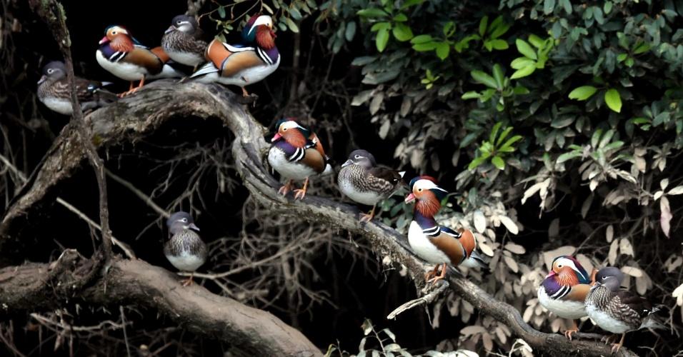 1.dez.2016 - Patos selvagens mandarins descansam em árvore na vila de Zhongxi, província de Fujian, na China
