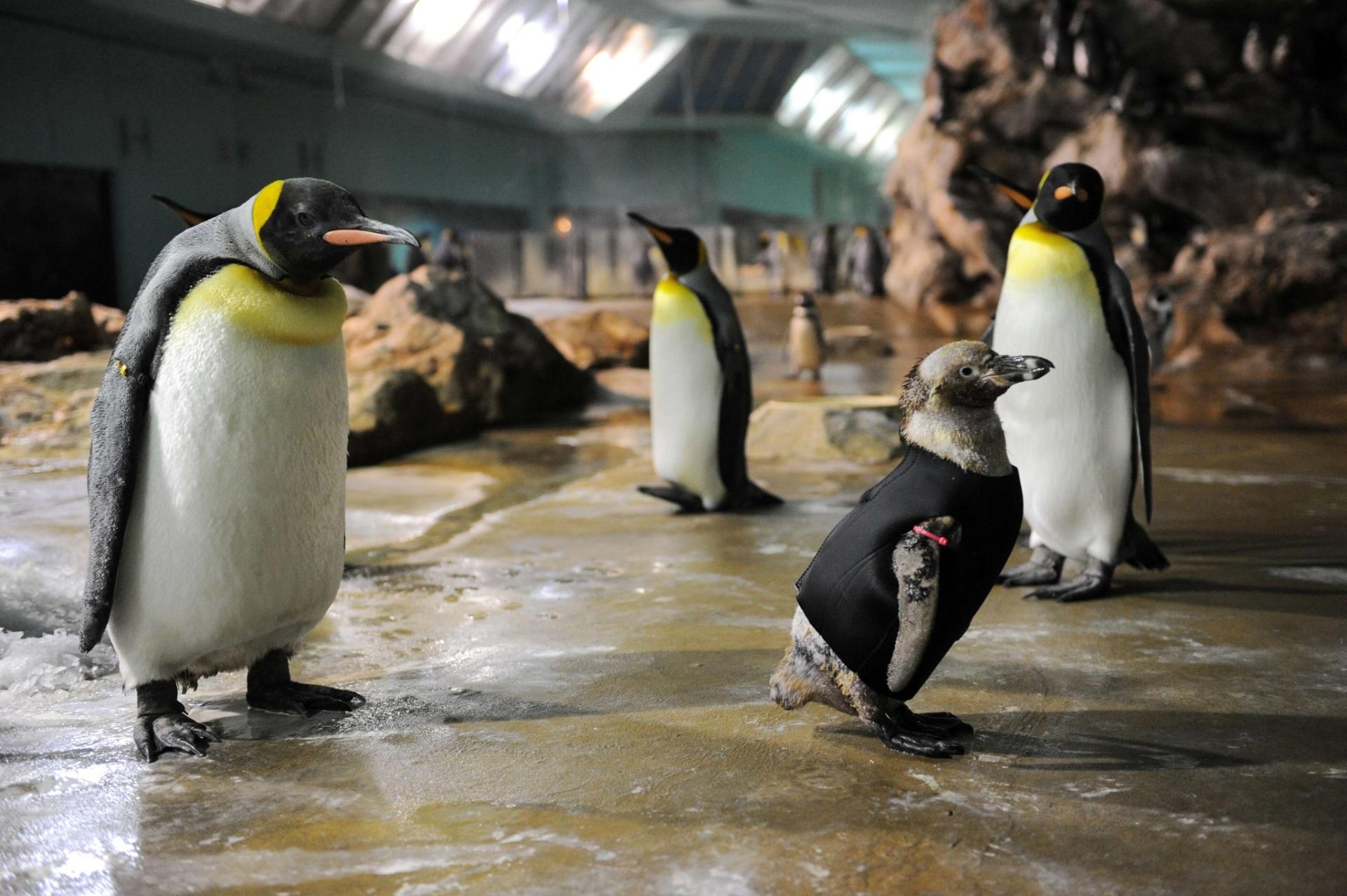 17.jan.2017 - Um pinguim sem penas ganhou um casaco para se aquecer no parque Jurong Bird, em Singapura, no mês de abril de 2011. O animal de 10 anos sofre com a perda contínua das penas desde 2010 e está sendo tratado por veterinários especializados que criaram a blusa para aquecer o pinguim