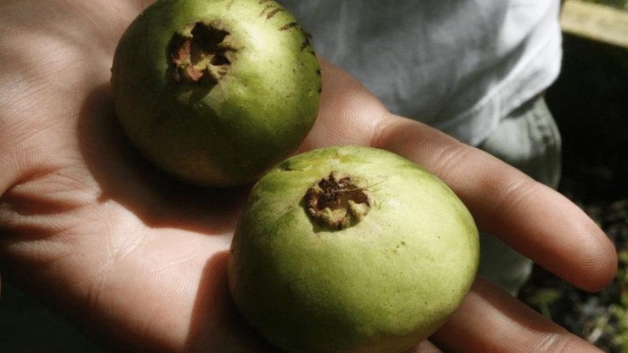 Cambuci: de sabor bastante ácido, o fruto é rico em vitamina C e uma excelente fonte de antioxidantes - GLENN MAKUTA