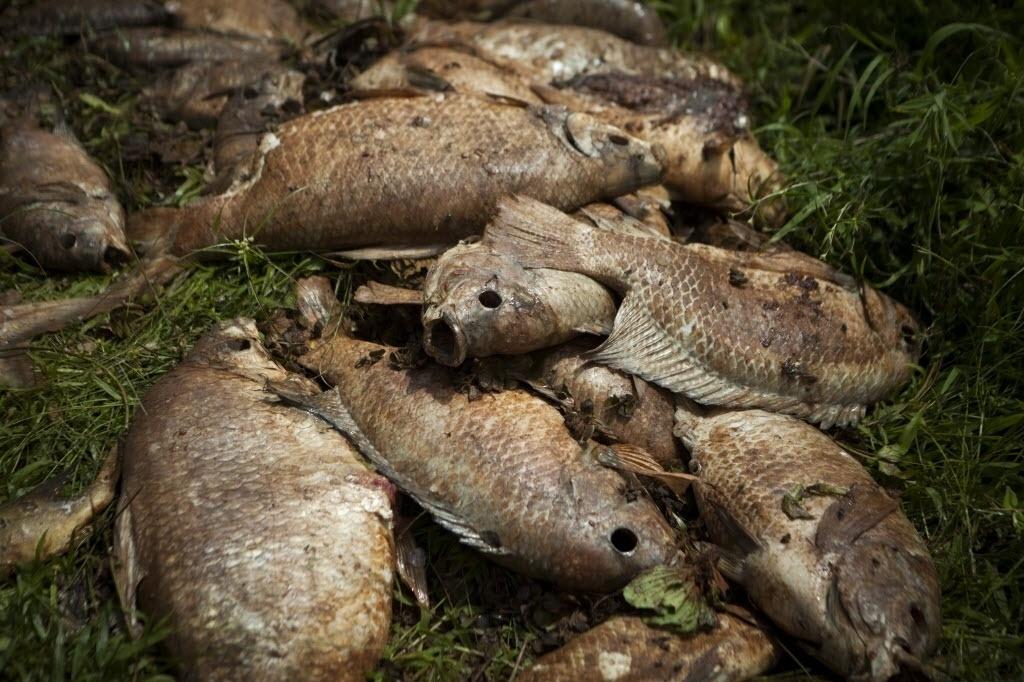 10.nov.2015 - Já com a lama invadindo rios após o rompimento de barragem, peixes mortos ficam expostos no dia 10 de novembro. Animais não resistiram à falta de oxigênio na água após a chegada da lama tóxica.